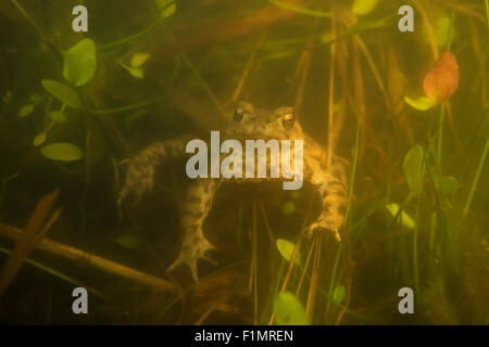 Bufo bufo / Common Toad / Crapaud Commun / Erdkroete / Sapo comun waiting for wifes under water during breeding - Stock Photo