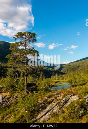 Scots pine (Pinus sylvestris) in Saltfjellet-Svartisen. - Stock Photo