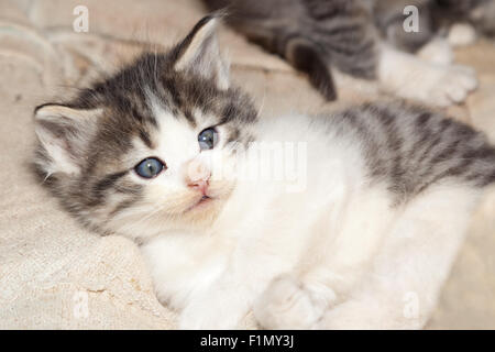 A cute feral kitten with blue eyes laying on a dirty towel. - Stock Photo