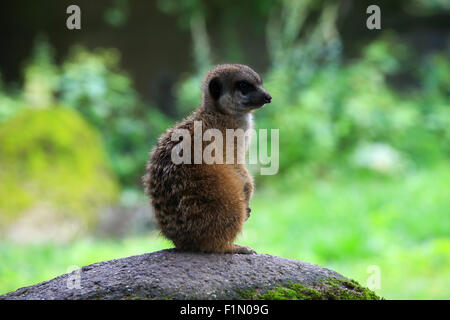 Meerkat also known as Suricate in nature - Stock Photo