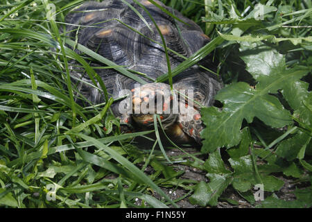 red footed tortoise in garden Chelonoidis carbonaria - Stock Photo