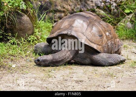 Aldabra Giant Tortoise in natural habitat,Geochelone gigantea - Stock Photo