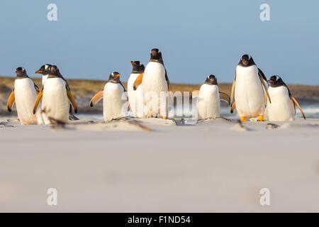 Gentoo penguin (Pygoscelis papua) colony on the beach, Falkland Islands. - Stock Photo