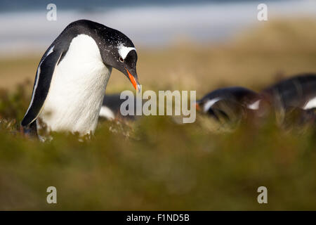 Gentoo Penguin (Pygoscelis papua) in his colony in the grass. - Stock Photo
