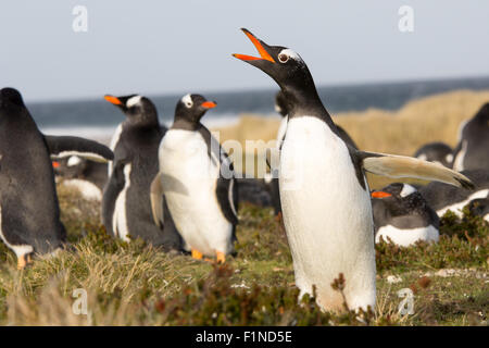 Penguin (Gentoo) Calling in the colony. Falklands. - Stock Photo
