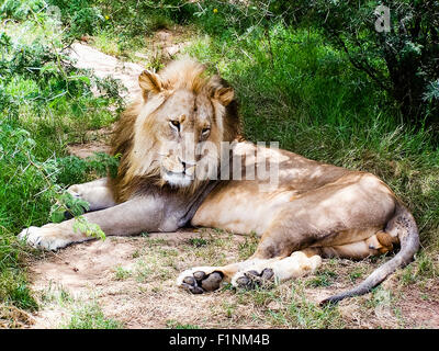 A male lion lies on a path in South Africa - Stock Photo