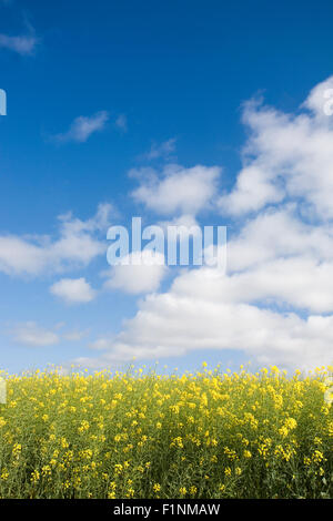 Canola field against blue sky - Stock Photo
