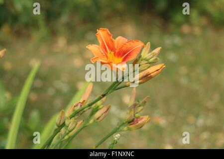 Orange Daylily Flower and Buds, Hemerocallis fulva, also known a the Tiger Lily or Tawny Daylily. - Stock Photo