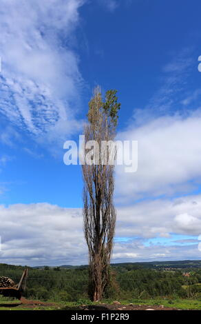 Diseased lombardy poplar, in a field, Herefordshire, UK - Stock Photo