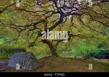 Old Japanese Lace Leaf Maple Tree at Japanese Garden - Stock Photo