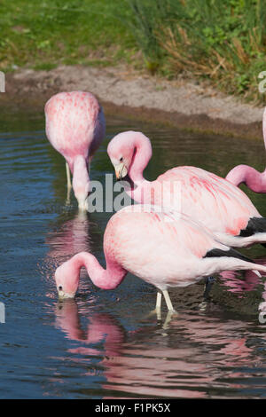 Andean Flamingos (Phoenicoparrus andinus). Native to high altitude wetlands in the Andes of Argentina, Bolivia, - Stock Photo