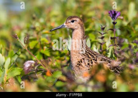 Ruff (Philomachus pugnax) among dwarf shrubs - Stock Photo