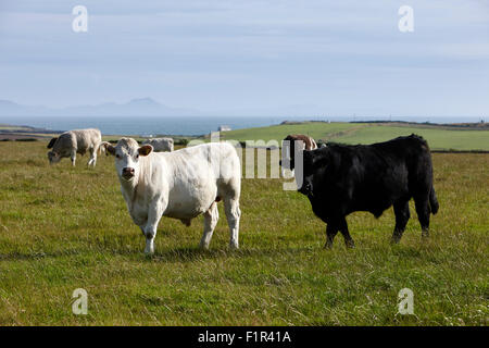 free range beef cattle on open farmland anglesey north wales uk - Stock Photo