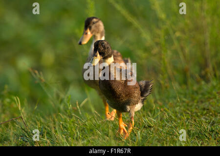 Duck is the common name for a large number of species in the Anatidae family of birds which also includes swans - Stock Photo