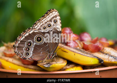 Morpho peleides enjoying fruit for lunch.  With small fly on wing! Blue morpho butterfly. - Stock Photo