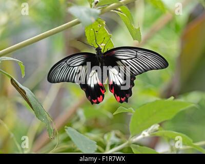Macro. Papilio rumanzovia. Tropical butterfly. - Stock Photo