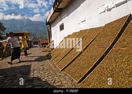 People curing tobacco in the sun. - Stock Photo