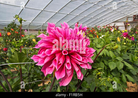Dahlia 'Emory Paul'  growing in tunnel, 1st Prize Winning. - Stock Photo