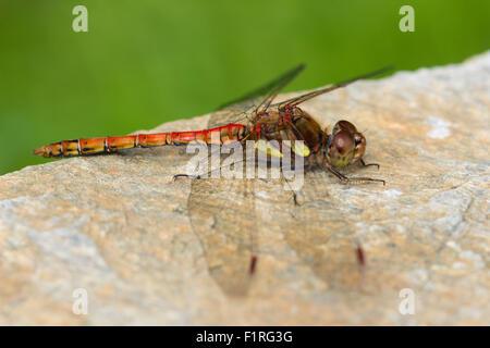 Red bodied adult male common darter dragonfly, Sympetrum striolatum, at rest in a Devon garden - Stock Photo