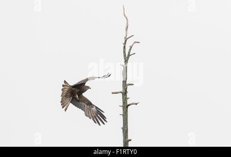 Black kite, Milvus migrans,  flying towards an old tree, Kuhmo, Finland - Stock Photo