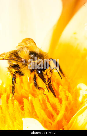 Close up, macro shot of  Bumble bee, 'Bombus Pascuorum', collecting pollen from yellow flower, with his legs and - Stock Photo