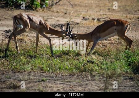 Impala (Aepyceros melampus) fighting in the Liwonde National Park, Malawi, Africa - Stock Photo