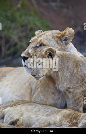 Lion (Panthera leo) female and cub, Ngorongoro Crater, Tanzania, East Africa, Africa - Stock Photo