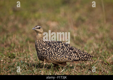 Yellow-throated sandgrouse (Pterocles gutturalis), female, Serengeti National Park, Tanzania, East Africa, Africa - Stock Photo