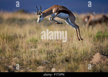 Springbok (Antidorcas marsupialis) buck springing or jumping, Mountain Zebra National Park, South Africa, Africa - Stock Photo