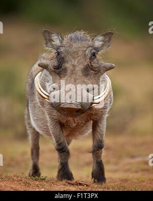 Warthog (Phacochoerus aethiopicus), male, Addo Elephant National Park, South Africa, Africa - Stock Photo