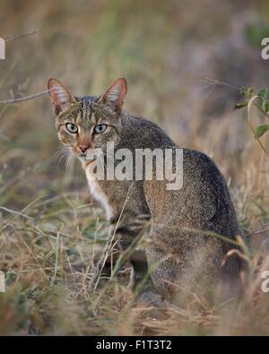 African wild cat (Felis silvestris lybica), Kruger National Park, South Africa, Africa - Stock Photo