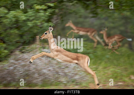 Female impala (Aepyceros melampus) running, Kruger National Park, South Africa, Africa - Stock Photo