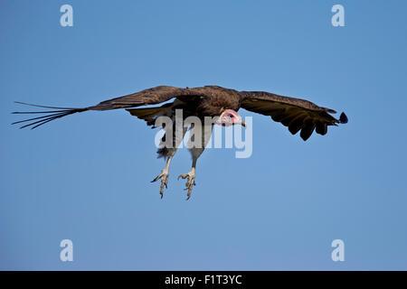 Hooded vulture (Necrosyrtes monachus) in flight on approach to landing, Ngorongoro Conservation Area, Serengeti, - Stock Photo