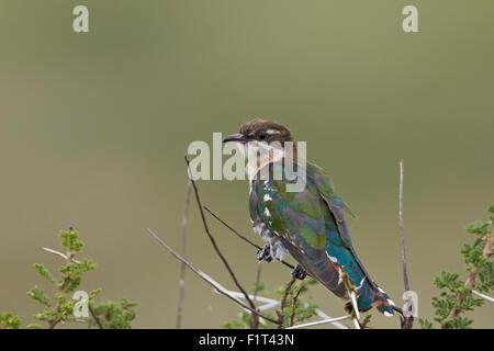 Diederik cuckoo (Chrysococcyx caprius), male, Ngorongoro Conservation Area, UNESCO World Heritage Site, Serengeti, - Stock Photo