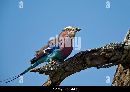 Lilac-breasted roller (Coracias caudata) with an insect, Ngorongoro Conservation Area, UNESCO, Serengeti, Tanzania - Stock Photo