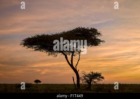 Acacia tree and clouds at dawn, Ngorongoro Conservation Area, UNESCO World Heritage Site, Serengeti, Tanzania, East - Stock Photo
