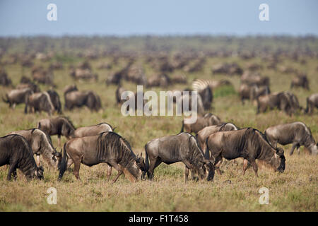 Blue wildebeest (brindled gnu) (Connochaetes taurinus) herd, Ngorongoro Conservation Area, UNESCO, Serengeti, Tanzania - Stock Photo