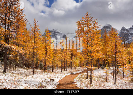 Beautiful bright larch trees in fall, with the first snow dusting on the ground. Photographed in Larch Valley, high - Stock Photo