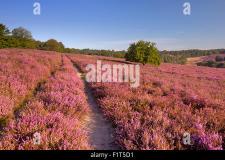 A path through endless hills with blooming heather. Photographed at the Posbank in The Netherlands. - Stock Photo