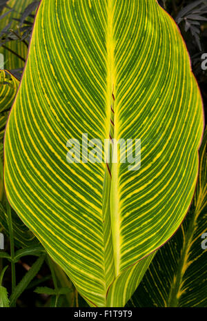 Striped leaf of the Cana plant with new leaf uncurling in a garden in England, UK - Stock Photo