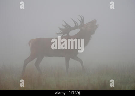 Red deer / Rothirsch ( Cervus elaphus ) stag, belling, in the mist, fog, during rutting season in autumn. - Stock Photo