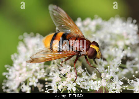 Hornet Mimic Hoverfly Volucella zonaria - Stock Photo