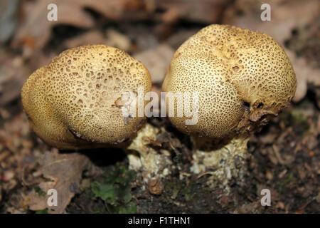Scaly Earthballs Scleroderma verrucosum - Stock Photo