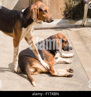 My dog, not yours. A dog seems to put a proprietary foot on another dog in the compound for the hunting dogs - Stock Photo