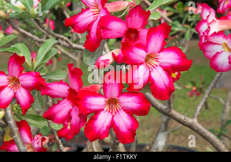 Red frangipani flowers on the branches of its tree - Stock Photo