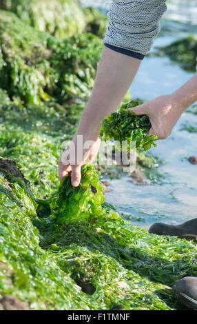 Foraging Seaweed From Beach Uk