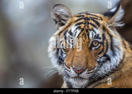 Young wild Bengal Tiger Portrait  Ranthambhore forest. [Panthera Tigris] - Stock Photo
