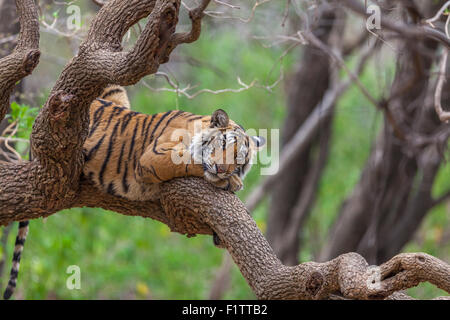 A Bengal Tiger around 13 months old climbed on a tree at Ranthambhore Forest, India. [Panthera Tigris] - Stock Photo