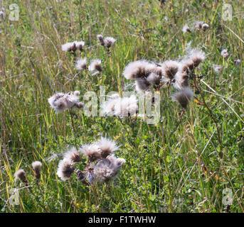 Creeping thistle ( Cirsium arvense) seeds north east England, UK - Stock Photo