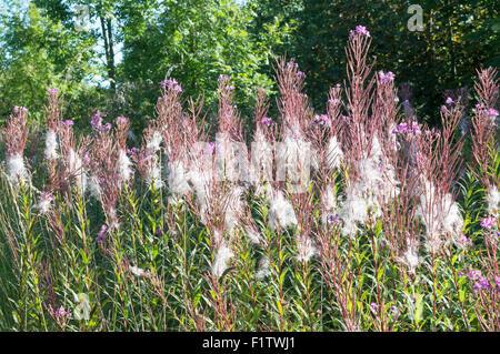Rosebay Willowherb, north east England, UK - Stock Photo